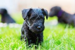 Portrait of a schnauzer puppy. Portrait of a cute schnauzer puppy Stock Photo