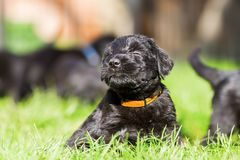Portrait of a schnauzer puppy. Portrait of a cute schnauzer puppy who sits on the grass Stock Images