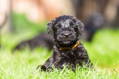Portrait of a schnauzer puppy. Portrait of a cute schnauzer puppy who sits on the grass Stock Photo