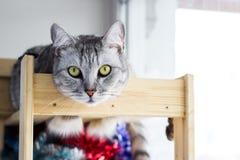 Cute portraitte of Scottish cat lying on wooden shelf. stock photography