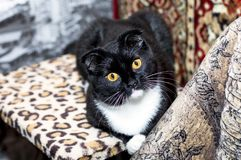 Portrait of cute Scottish fold cat. Beautiful cats in house theme Stock Photos