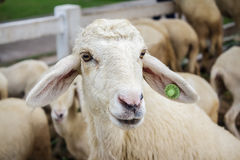 Portrait of cute sheep. Backgrounds general illustration royalty free stock photography