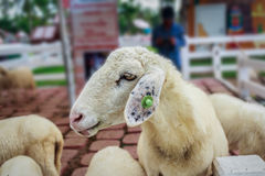 Portrait of cute sheep. Backgrounds general illustration stock photo