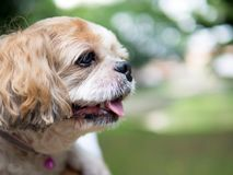 Portrait of a cute Shih Tzu dog. Close up portrait of a cute little Shih Tzu puppy dog royalty free stock photography