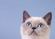 Portrait of cute siamese cat stock photo