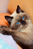 Portrait of cute siamese cat royalty free stock images