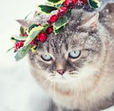 Siamese kitten in a Christmas wreath royalty free stock images
