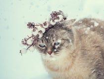 Siamese kitten in a Christmas wreath stock photos