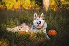 Portrait of cute siberian Husky dog lying next to a pumpkin for Halloween at sunset in the meadow. Portrait of cute siberian Husky dog on the sunny forest royalty free stock photos