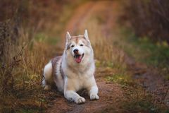 Portrait of cute Siberian Husky dog lying on the path in the bright autumn forest stock photos