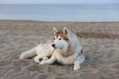 Portrait of cute siberian husky dog lying on sea front at sunset stock image