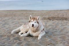 Portrait of cute siberian husky dog lying on sea front at sunset. Portrait of cute siberian husky dog lying on the sand on sea front at sunset royalty free stock images