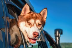 Portrait cute Siberian husky looking out car window. Smiling muzzle red dog on background blue sky. Reflection dog`s head in glass. Copy space royalty free stock photography