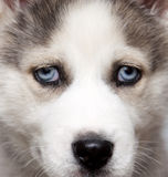 Portrait of cute siberian husky puppy Stock Images