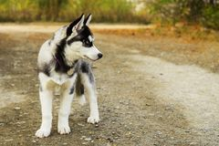 Portrait of a cute Siberian puppy, standing on a alley in autumn park royalty free stock images