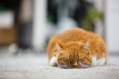 Portrait of cute sleeping red home cat.  royalty free stock photos
