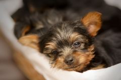 Portrait of a cute sleepy Yorkshire Terrier puppy in a basket royalty free stock photo