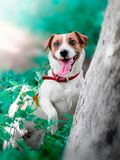 Portrait of cute small white and brown dog jack russel terrier standing on its hind paws with tongue hanging out and. Looking into camera next to tree royalty free stock photos