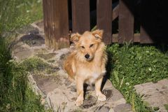 Portrait of cute small yellow mongrel dog laying stock image