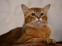 Portrait of a cute somali cat Stock Photography