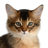 Portrait of a cute somali kitten. Isolated on white background Stock Images