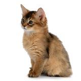 Portrait of a cute somali kitten Stock Photography