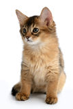 Portrait of a cute somali kitten. Isolated on white background Stock Photography