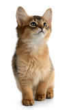 Portrait of a cute somali kitten. Isolated on white background Royalty Free Stock Image