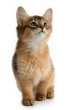 Portrait of a cute somali kitten Royalty Free Stock Image
