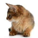 Portrait of a cute somali kitten Stock Image