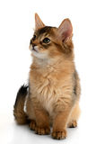 Portrait of a cute somali kitten. Isolated on white background Stock Photo