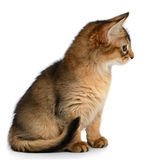 Portrait of a cute somali kitten Stock Photo