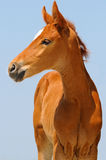 Portrait of cute sorrel foal. Against blue sky Royalty Free Stock Images
