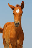 Portrait of cute sorrel foal Stock Image