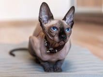 Portrait of cute sphinx kitten. Portrait of cute blue eyes sphinx kitten stock photos