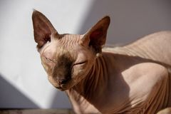 Portrait of cute sphynx cat with sunlight stock photo