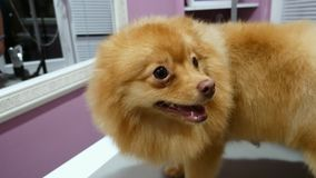 Portrait of a cute spitz, cheerful dog in the groomer salon stock video footage