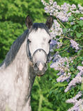 Portrait of cute sportive  grey horse near lilac Royalty Free Stock Photo