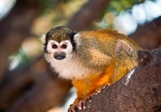 Portrait of a cute squirrel monkey . Royalty Free Stock Images