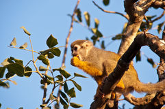 Portrait of a cute squirrel monkey . stock photography