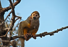 Portrait of a cute squirrel monkey . Stock Photo