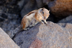 A portrait of a cute squirrel on the stones. A femine squirrel on the stones. Location Fuerteventura Stock Photos