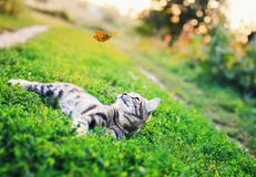 Portrait of a cute striped cat lying in the grass in a Sunny meadow and looking at a beautiful flying orange butterfly on a clear. Striped cat lying in the grass royalty free stock image