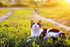 Portrait of a cute striped cat lying in the grass in a Sunny meadow and looking at a beautiful little blue butterfly flying. Cute striped cat lying in the grass stock images