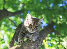 Cute striped kitten sits high on a bright green tree in a sunny spring garden and looks down. Portrait of a cute striped kitten sits high on a bright green tree stock photos