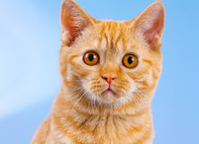 Portrait of cute surprised kitten Royalty Free Stock Photo