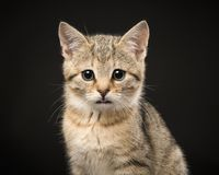 Portrait of a cute tabby baby cat looking at the camera on a bla. Ck background Stock Images