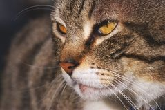 Portrait of cute tabby cat. With yellow eyes stock image