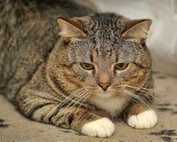 Portrait of cute tabby cat Stock Photos