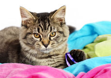 Portrait of cute tabby kitten Royalty Free Stock Photo